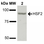 SPC-712-HSF2-Antibody-WB-Rat-Liver-cell-lysates-1.png