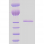 SPR-116_HSP65_Protein_SDS-Page.png