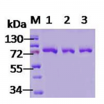 SPR-119_GRP78_Protein_SDS-Page.png