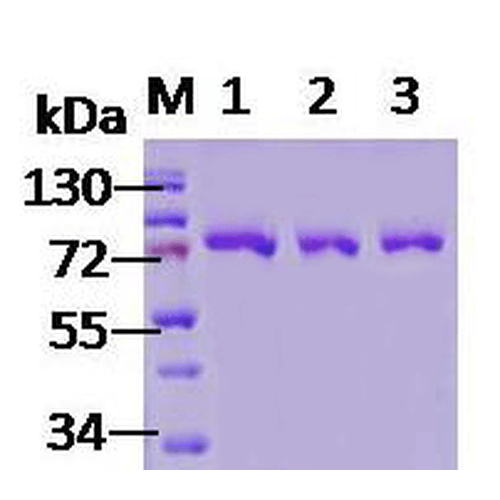 <p>SDS-PAGE of 78kDa native human Grp78 protein (SPR-119).</p>