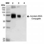 SPR-206_Acrolein-BSA-Conjugate-Protein-Western-Blot-1.png