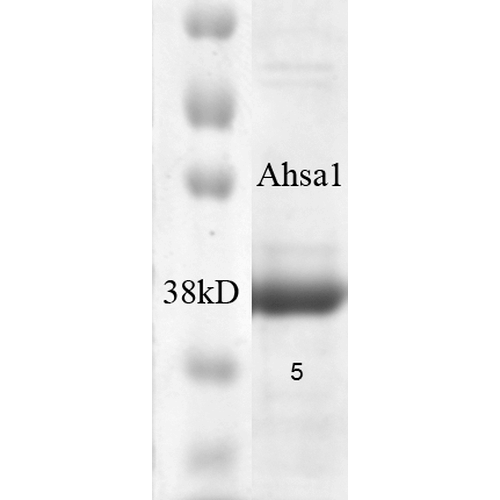 <p>SDS-PAGE of native human 38kDa Aha1 protein (SPR-300).</p>