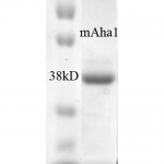 SPR-311_AHA1_Protein_SDS-Page.png