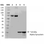 SPR-316_Alpha-Synuclein-Protein-Monomer-Protein-SDS-Page-1.png