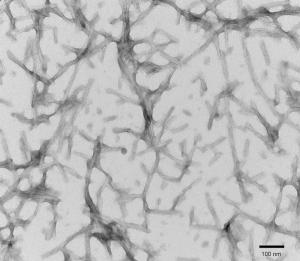 TEM of active recombinant Tau441 (2N4R), P301S mutant Preformed Fibrils (PFFs)